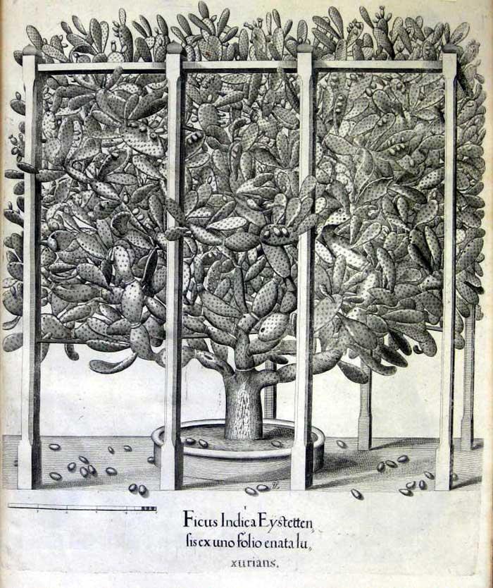 Hortus Eystettensis5