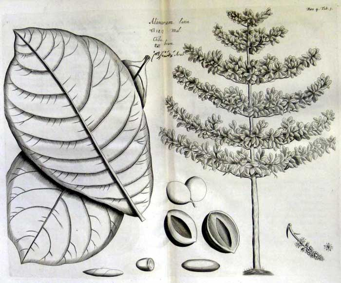 Hortus Indicus4